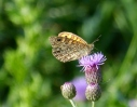 Wall brown butterfly on a thistle