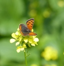The small copper
