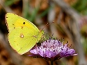 The clouded yellow on a purple flower