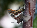 Two-tailed pasha 1